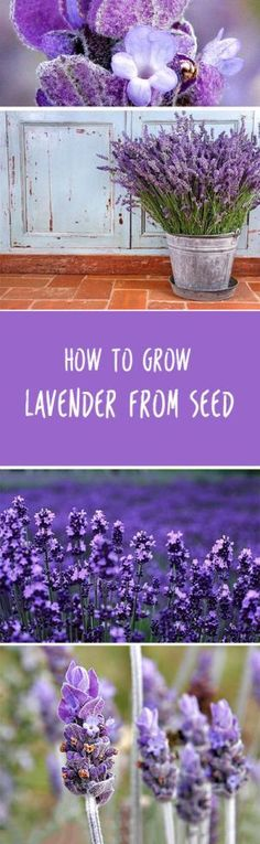 How to Grow Lavender from Seed  Wiki-How