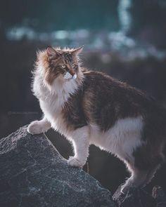 Warrior Cats, Cute Kittens, Cats And Kittens, Ragdoll Kittens, Tabby Cats, Bengal Cats, Kitty Cats, Black Cat Breeds, Kitten Breeds