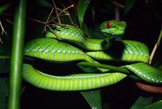 ruby-eyed green pit viper (Cryptelytrops rubeus)