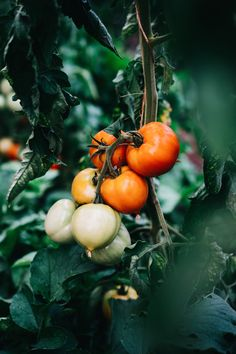 tomates on the vine - eat | raw foods - inspiration - color - healthy - food photography - beautiful - ideas - styling