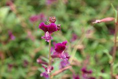 Cuphea lanceolata – 1 jarig, luciferplant uit de kattenstaartfamilie, word .45-.60 hoog, bloeit juni-aug donker lila.