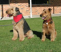 Airedale Terriers...... Double the fun