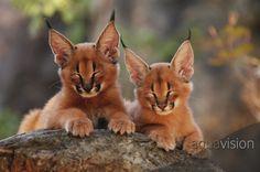 Caracal (Rooi Kat) cubs
