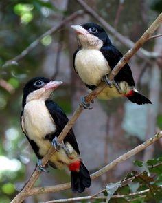 Foto capitão-de-cinta (Capito dayi) por Danilo Mota | Wiki Aves - A Enciclopédia das Aves do Brasil