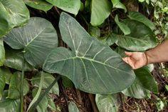 Folha de Taioba. Foto: Lee Prince / Shutterstock.com