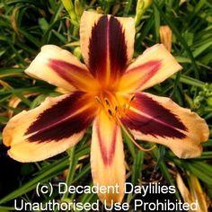Cleopatra ~ http://pinterest.com/InAustralia/decadent-daylilies-daylilies-australia/