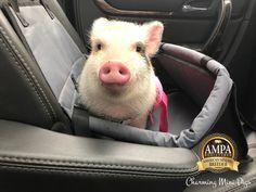 Car rides with Mini Pig Miniature Pigs, Mini Pigs, Pet Pigs, Your Pet, Pepper, Charmed, Car, Animals, Autos
