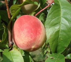 Roter Ellerstädter – Wikipedia Obstwiese