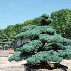 Pinus parviflora 'Glauca'  Acheter Vos Arbres chez le spécialiste du Jardin Zen français . ART Garden www.art-garden.fr