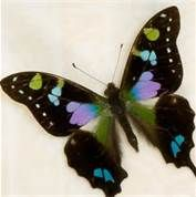 Real Purple Butterfly Swallowtail - Bing Images