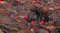 Animal Equality India made an article about the bloodiest religious ritual in the world, in Nepal. To honor the goddess, Gadhimai, the ritual consists of violently killing 1/2 million animals.We filmed aerial scenes to capture the magnitude of this cruelty. The helplessness of this calf amongst the mutilated bodies of countless animals was sad. The Gadhimai temple have announced that they will no longer use animals in their rituals.