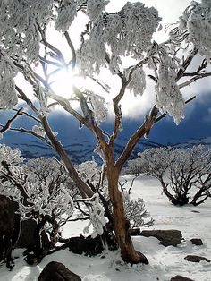 Snowgums in the afternoon light at Guthega in the Snowy Mountains Australia