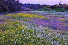 A field of flowers in Ashkelon, Israel, by Meir Cohen.  My friend Debbie and I visited this region in 1995…