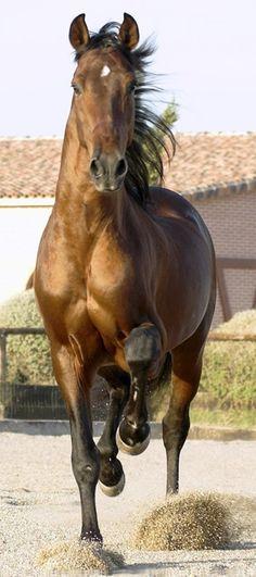 Andalusian stallion.