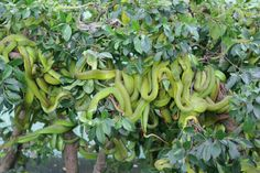 Green snakes colony