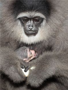 Silvery Gibbon | Owa Jawa