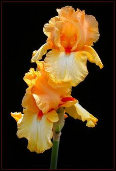 ✯ Yellow Iris by *THOM-B-FOTO*✯ - I've tossed hundreds of my hybrid iris rhizomes. Our below-zero winter a couple of years ago was too hard on them; They're being replaced with native, low-water-use plants. Iris Flowers, Exotic Flowers, Amazing Flowers, My Flower, Yellow Flowers, Planting Flowers, Beautiful Flowers, Cactus Flower, Flowers Garden