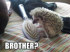 Brother? #hedgehogs