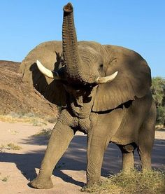 Elephants Can Sing Like Humans Elephants Never Forget, Save The Elephants, Baby Elephants, Animals Of The World, Animals And Pets, Cute Animals, Nature Animals, Drunk Elephant, Elephant Love