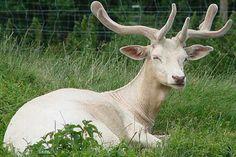 Albinismo (249)Cervo