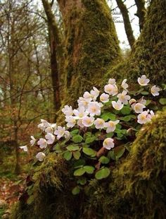 Spring in the woodland - Oxalis - Wood Sorrel Forest Flowers, Wild Flowers, Flowers Garden, Woodland Flowers, Oxalis Acetosella, Wood Sorrel, Woodland Garden, Walk In The Woods, Spring Is Coming