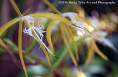 Epidendrum ciliare Orchid Fine Art Photo Print by BeckyTylerArt
