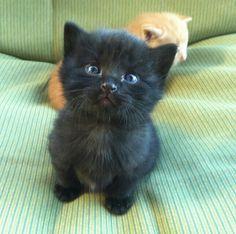 cute black kitten