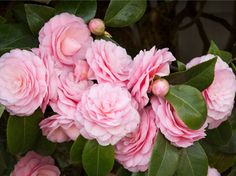 Monrovia™ Plant Collections - Camellia's drought tolerant plants bring color and life to your garden