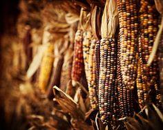 Autumn Indian corn