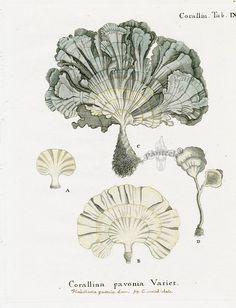 Johann Esper, Corallina pavonia Coral, 1791