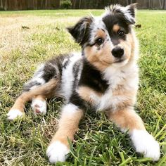 Australian Shepherd Puppies: Pictures And Facts After some selective crossbreeding with English imports like the Border Collie, the Australian Shepherd breed as we know it today was created. Australian Shepherd Puppies: Pictures And Facts. Super Cute Puppies, Cute Baby Dogs, Cute Little Puppies, Cute Dogs And Puppies, Doggies, Adorable Dogs, Cute Pets, Pet Dogs, Cute Animals Puppies