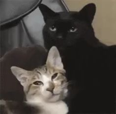 I'm jealous of the big guy Source by lnellysantos videos wallpaper cat cat memes cat videos cat memes cat quotes cats cats pictures cats videos Funny Cute Cats, Cute Cats And Kittens, Cute Funny Animals, Cute Baby Animals, Ragdoll Kittens, Tabby Cats, Funny Kittens, Bengal Cats, White Kittens