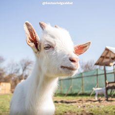 Samuel ya está un poco más grande y hace un par de días comenzó a vivir en el terreno de los adultos del santuario. Y le ha encantado! cada día vive aventuras juegos y comienza a conocer a todos sus compañeros. -- #goat #kid #goatsofig #goatlover #goatkids #goatlove #goatlife #santuarioigualdad #animals #animal #photooftheday #cute #pets #animales #cute #love #animallovers #nature #beautiful #pretty #happy #instadaily #amazing #friends  #mothernature #instachile #inspiration #rescue…