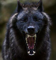 Black wolf ( Photo: Bjorn Reibert) via /r/pics Wolf Photos, Wolf Pictures, Animal Pictures, Animals Photos, Nature Photos, Wolf Spirit, Spirit Animal, Beautiful Wolves, Animals Beautiful