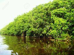 23799586-mangrove-tree-in-rainforest-Stock-Photo.jpg (1300×975)