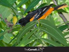 Orioles are true omnivores, feeding on a variety of insects, fruits, and even some seeds. Learn more here: info.allaboutbird...