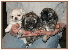 5 week old Peekapoo Puppies Peek A Poo, Pekingese, Rainbow Bridge, Little Man, Poodle, Dog Breeds, Cute Animals, Puppies, Pets