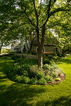 Goatsbeard, astible, hosta, boxwood and yews thrive under the protection and shade of this locust tree.
