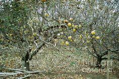 """The Very Last Apples"" by Joyce Gebauer"