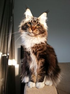"[Black Tabby White Maine Coon] MURPHY:  "" Atz least de lite of de saints shines upon me."""