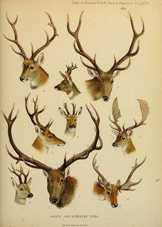 Items similar to Antique Deer Elk Antlers Scientific Chart Poster Print Deer Head Natural History Wild Life Wall Art Wall Decor on Etsy Art Et Illustration, Botanical Illustration, Oh Deer, Nature Prints, Art Journal Pages, Natural History, Mammals, Illustrator, Antiques