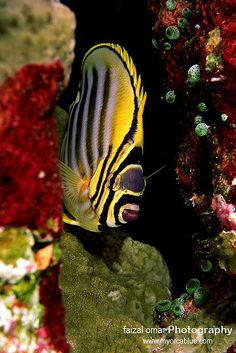 (Omate Butterfly Fish) * * PIRATE DREAMS: Needles and pins,Needles and pins,Sew me a sail to catch me the wind, Sew me a sail strong as the gale, Find me a captain and sign me a crew, Take me, oh take me, To anywhere new. [Seth Silverstein