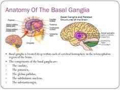 Anatomy Of The Basal Ganglia  Basal ganglia is located deep within each of cerebral hemisphere in the telencephalon region of the brain.