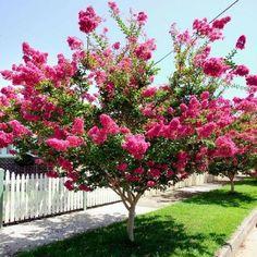 Exotische Busch Sommerblumen Bottlebrush Buckeye Aesculus Parviflora Pest Gratis