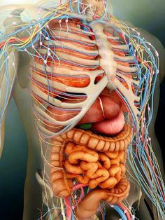 Photo Of Human Body With Organs . Photo Of Human Body With Organs Perspective View Of Human Body Whole Organs And Bones Stock Pic Of Human Body, Human Body Organs, Human Body Parts, Body Organs Diagram, Human Body Diagram, Anatomy Organs, Human Body Anatomy, Human Nervous System, Medical Anatomy