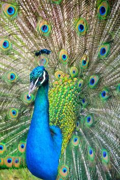 Photo by Ricardo Frantz on Unsplash Pfau Wallpaper, Peacock Wallpaper, Peacock Images, Peacock Pictures, Beautiful Birds, Animals Beautiful, Beautiful Scenery, Beautiful Things, Beautiful Pictures