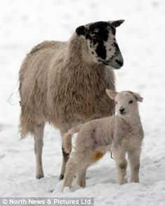 Spring is here but where's the sun? A young lamb pictured in snow covered fields in the north of the UK today