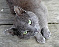 Beautiful Russian Blue- this will be my next kitty baby - hopefully >.