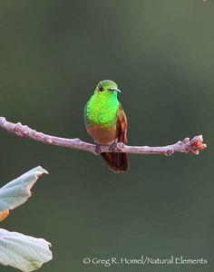 Berylline Hummingbird  (Amazilia beryllina)