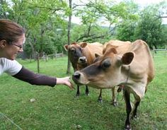 How to Start and Manage a Micro Dairy, Step 11: Choosing the Cows
